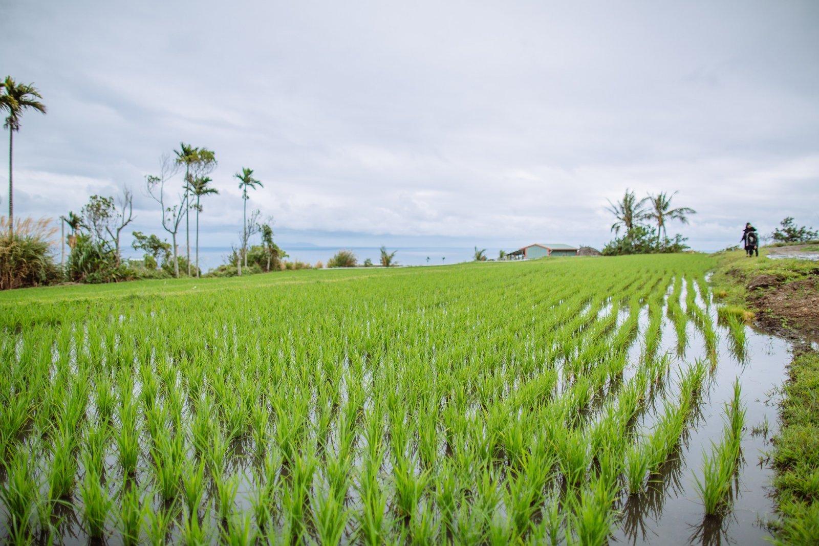 Plantació d'arròs
