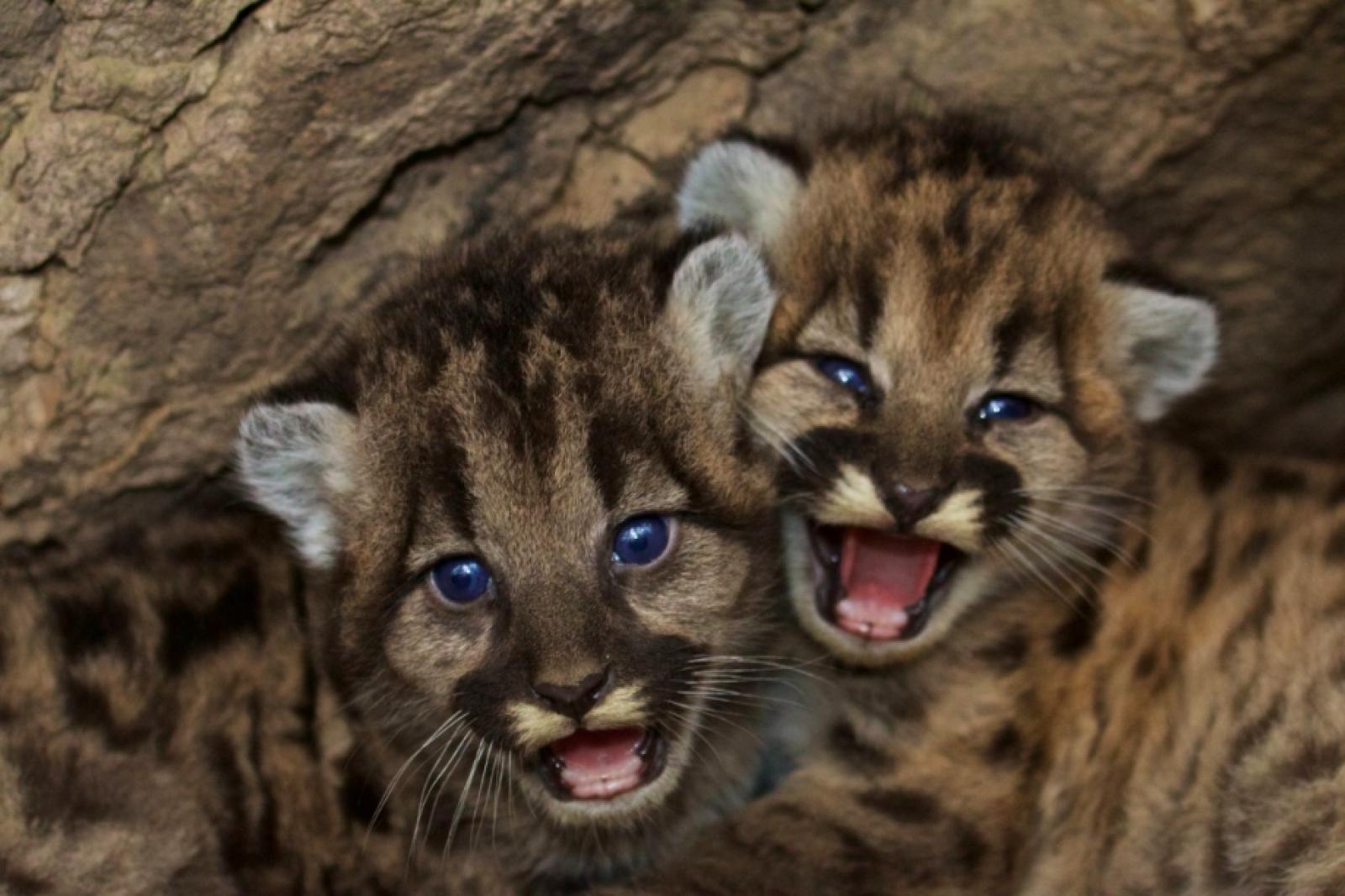 Cadells de puma
