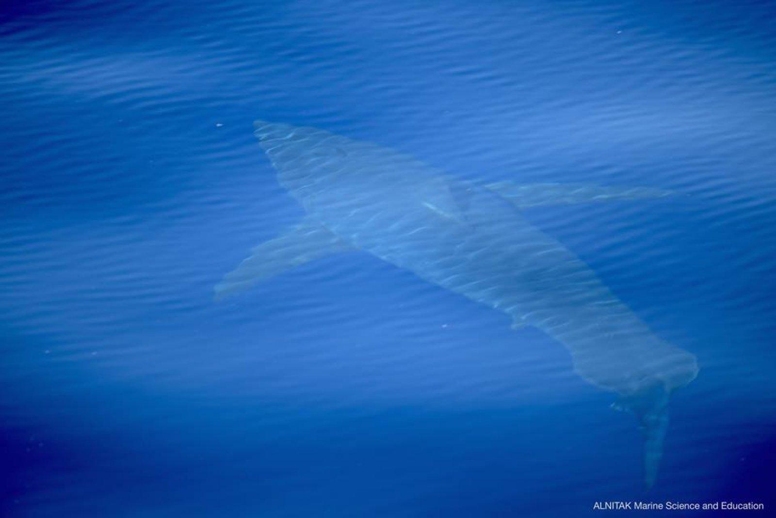 La fotografia del tauró blanc
