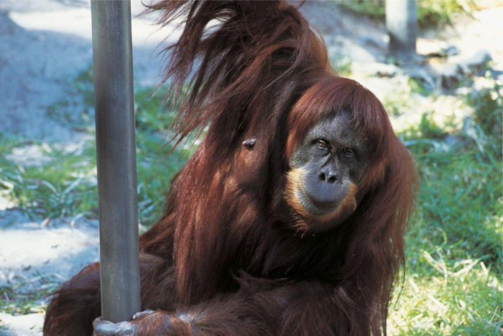 La orangutan Puan en una imatge d'arxiu.