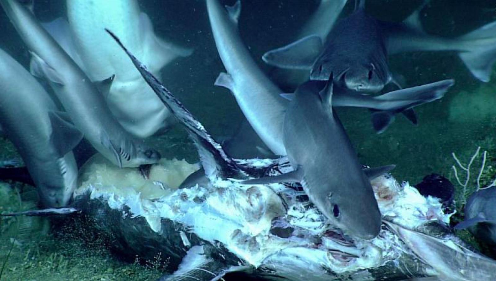 Taurons menjant-se un peix espasa mort