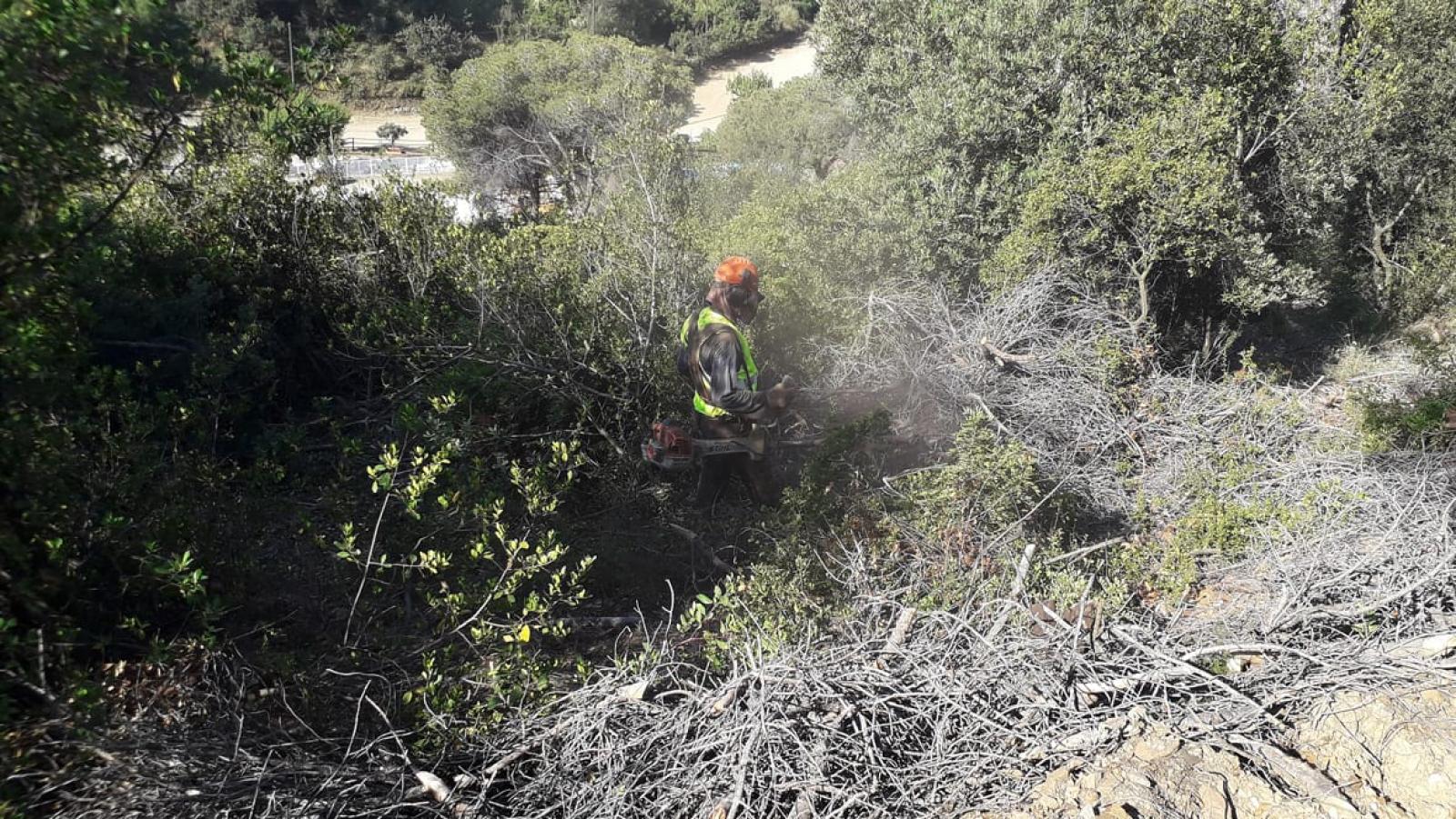 Treballs forestals de trituració de les restes vegetals afectades per l'escolítid Tomicus destruens al Parc de la Serralada de Marina