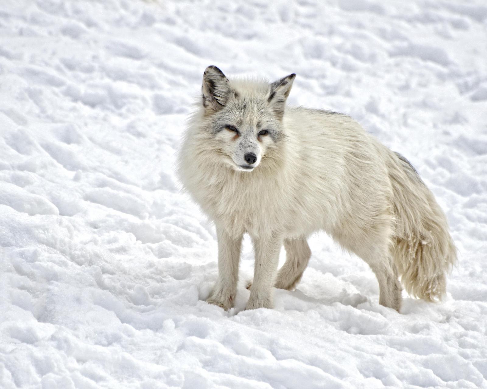 Un exemplar de guineu àrtica