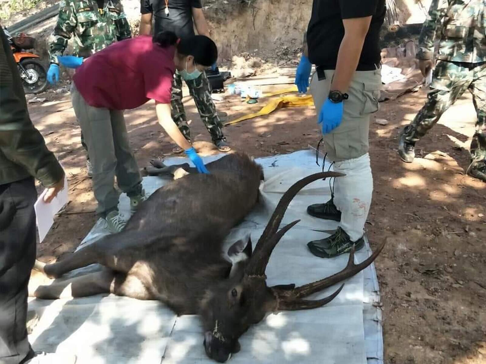 El cèrvol trobat mort abans de la seva autòpsia