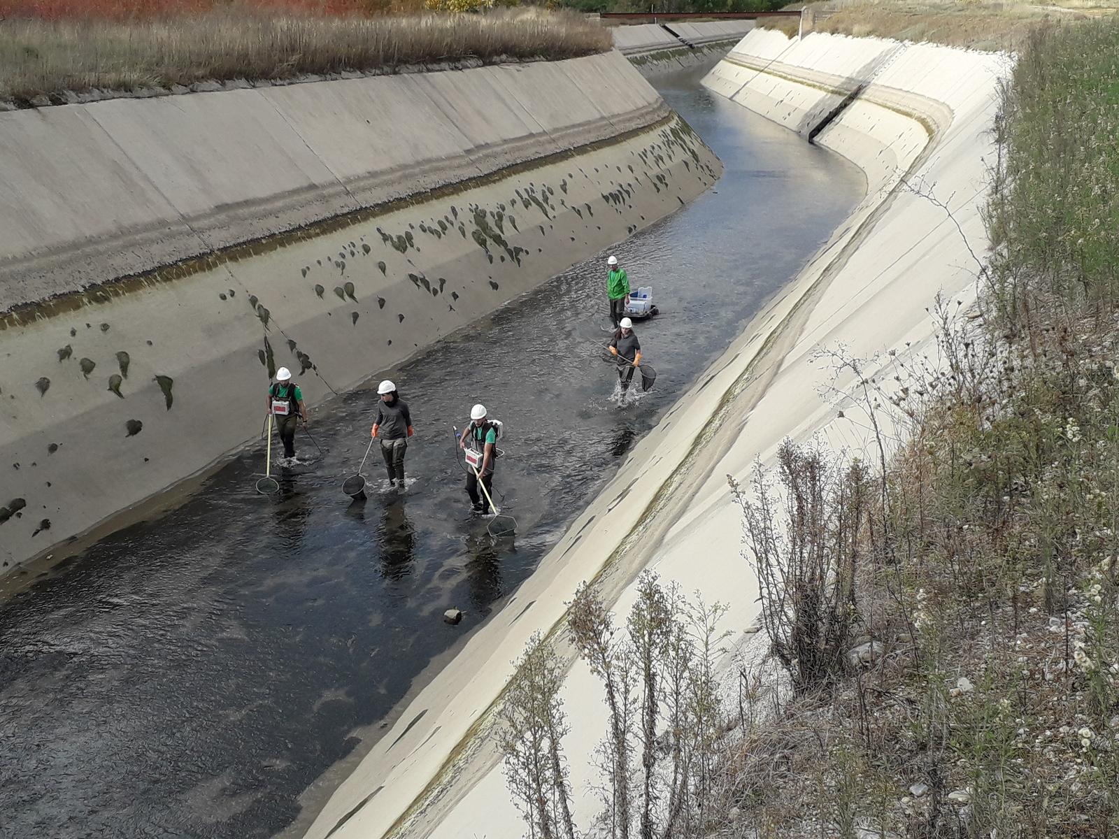 Tècnics durant el rescat dels peixos del canal de Gavet