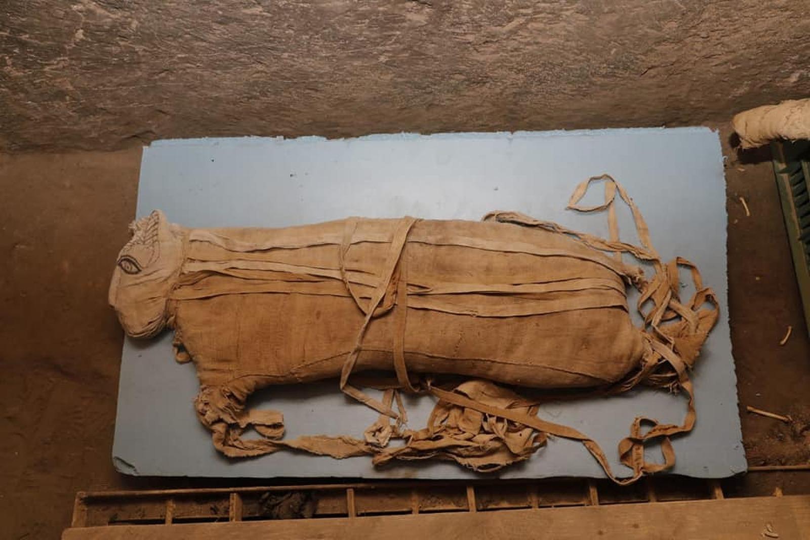 Un dels cadells de lleó momificats trobats a Egipte