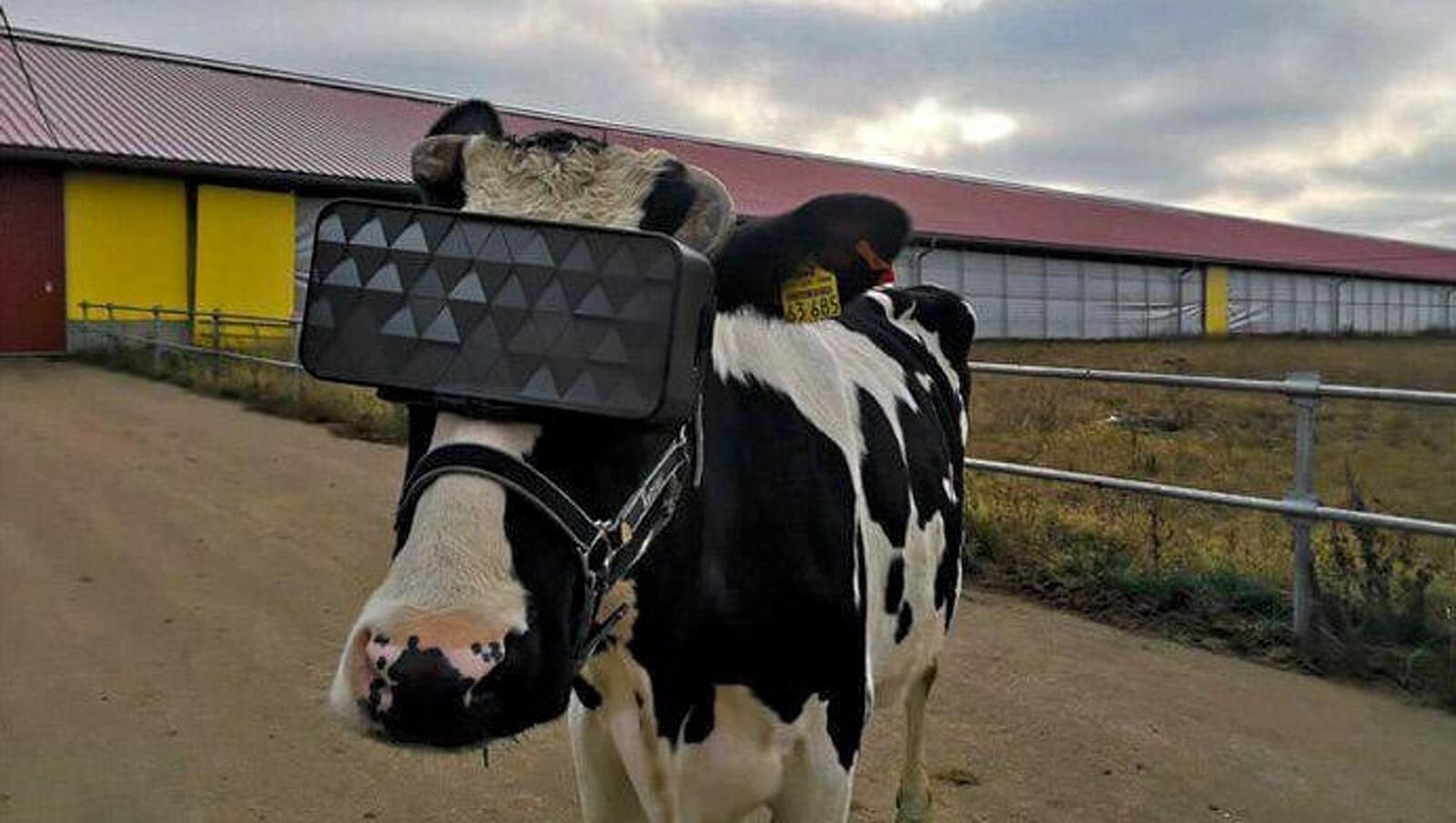 Una de les vaques equipades amb ulleres de realitat virtual