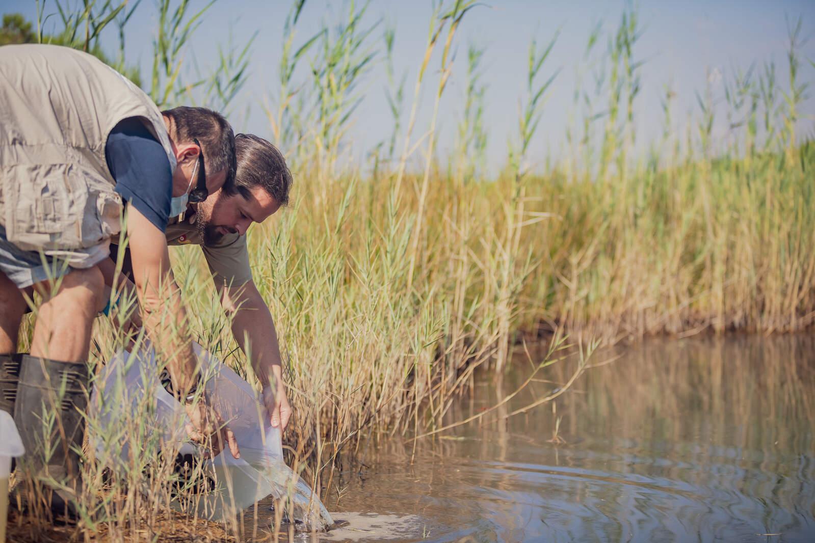 Dos tècnics alliberant fartets al delta del Llobregat