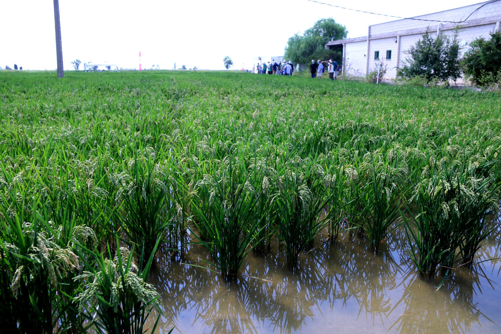 Un dels camps d'arròs de l'estació de l'Ebre de l'IRTA