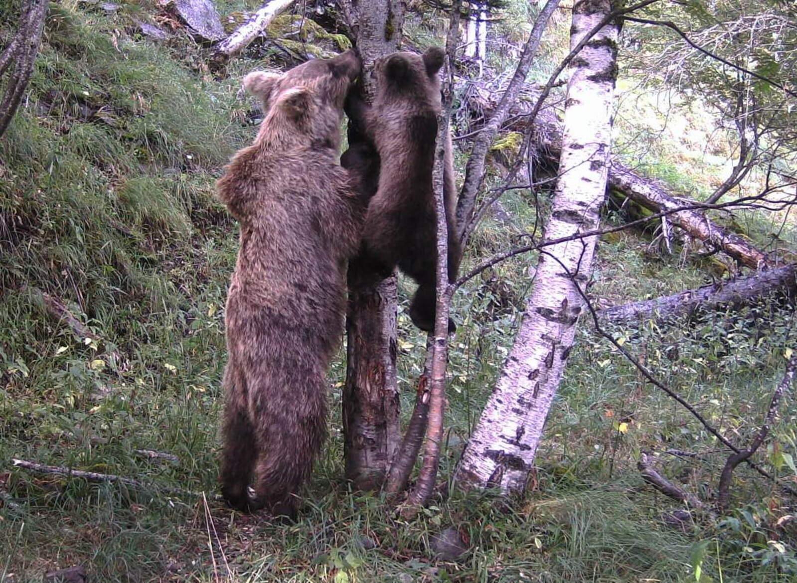 La primera imatge de cria d'os de la temporada de la càmera de situada a la Vall de Cardós al Pallars Sobirà