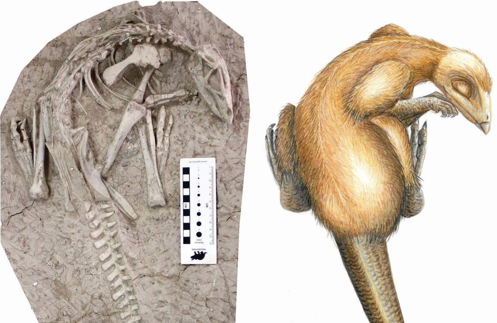 Un dels dinosaures descoberts al costat d'una reproducció artística de l'aspecte que devia tenir en vida