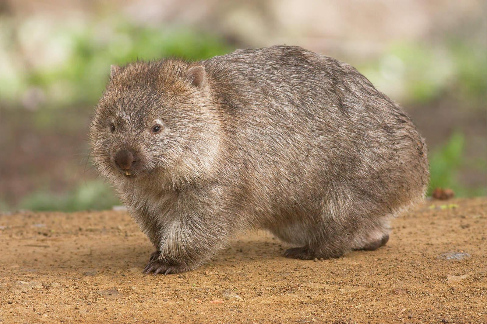 El wombat és un marsupial australià
