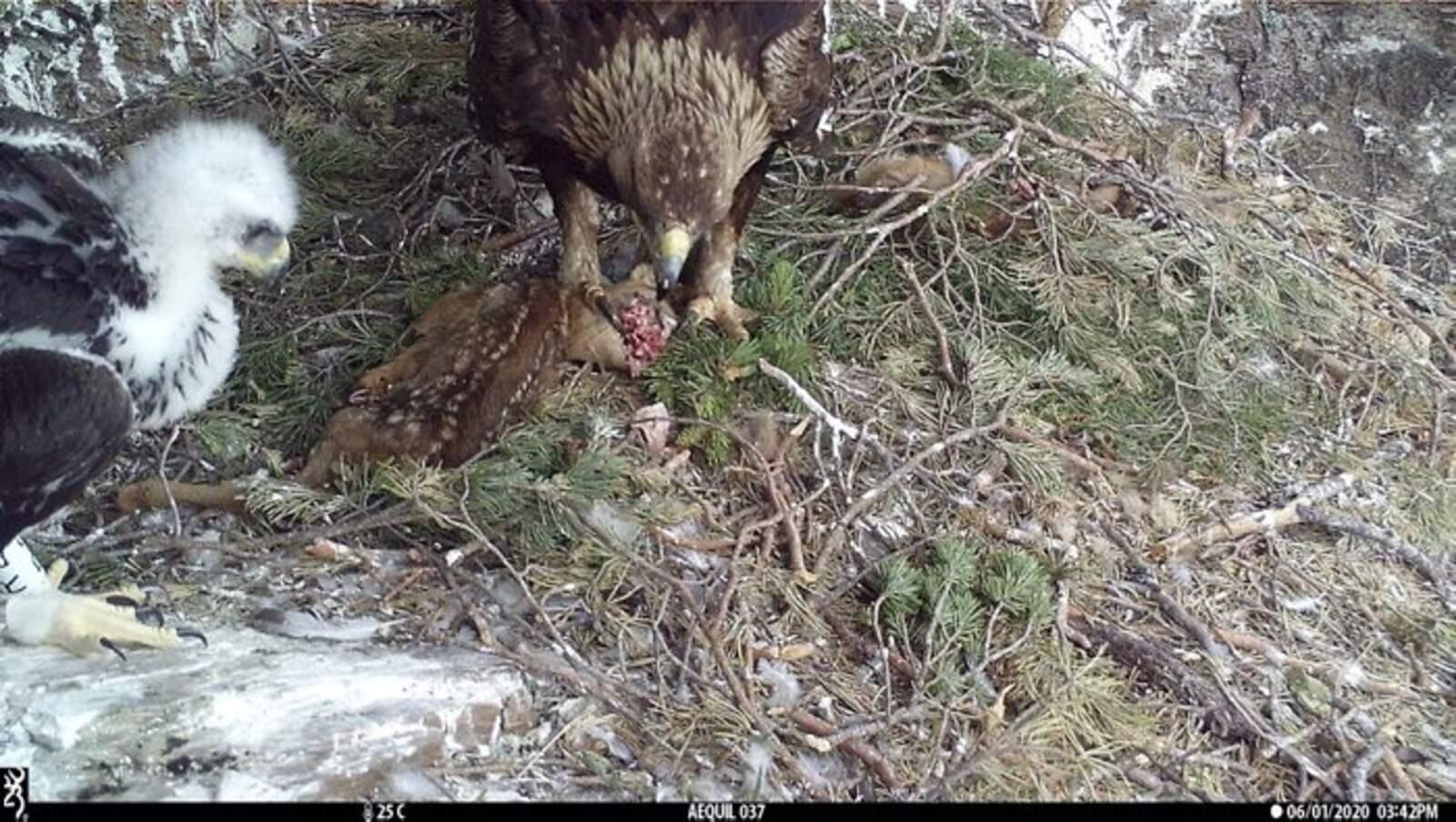 L'àguila daurada de l'Alt Pirineu