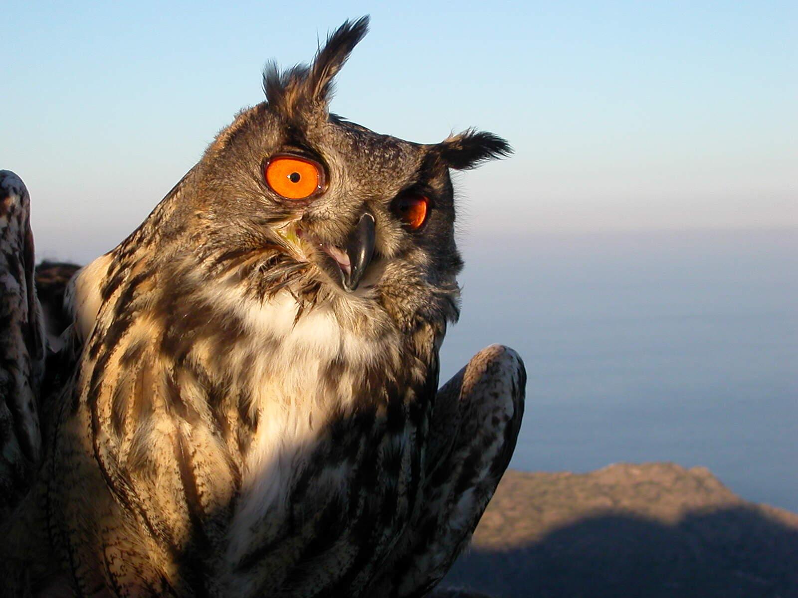 Un exemplar de duc al Parc Natural de Cap de Creus