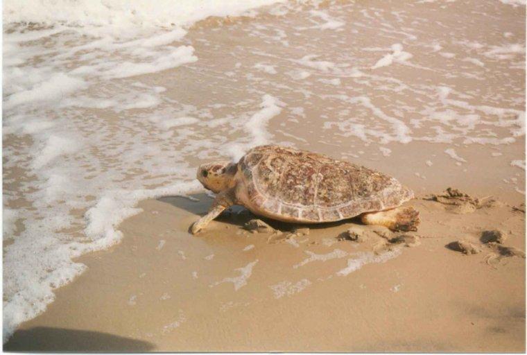 Tortuga babaua entrant al mar  | D.P.