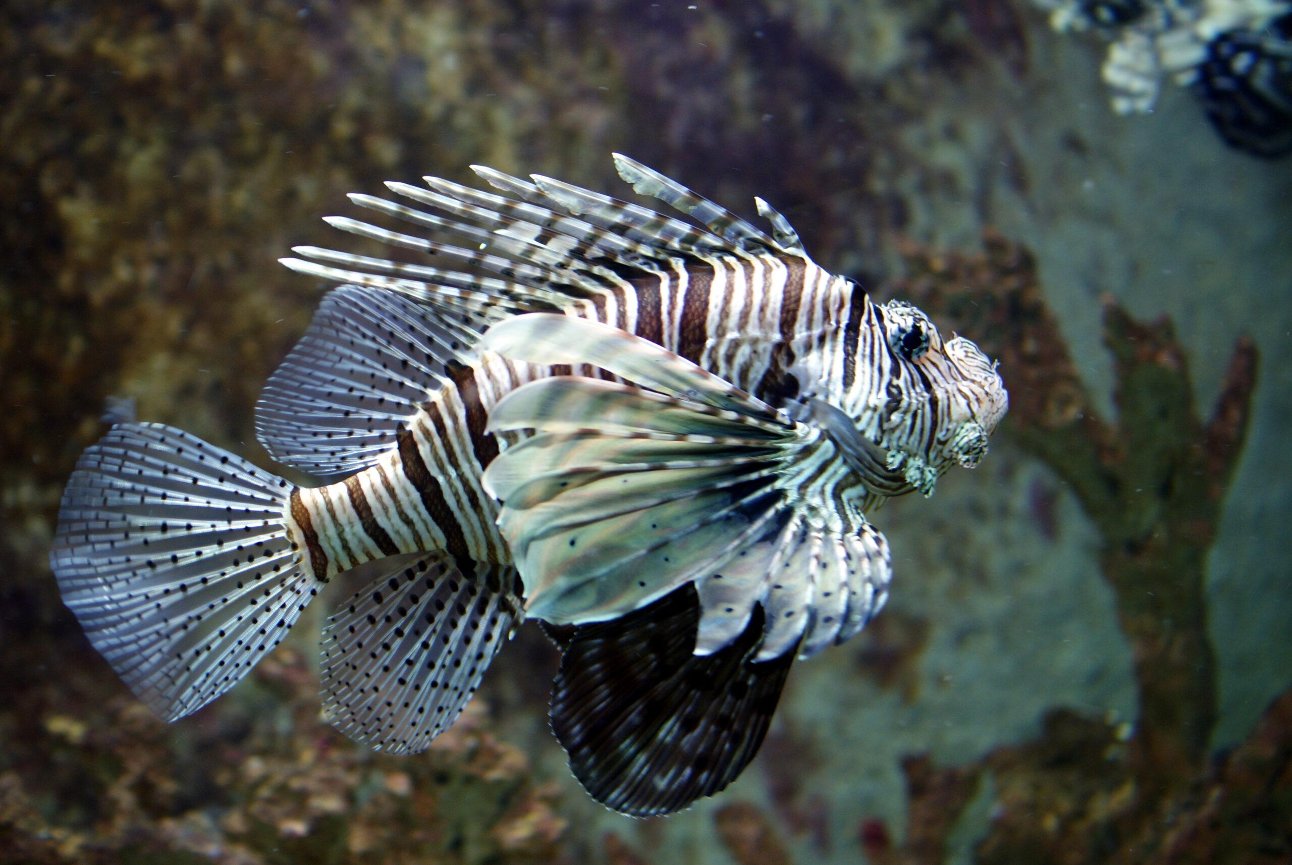 Peix escorpí   Wikimedia Commons