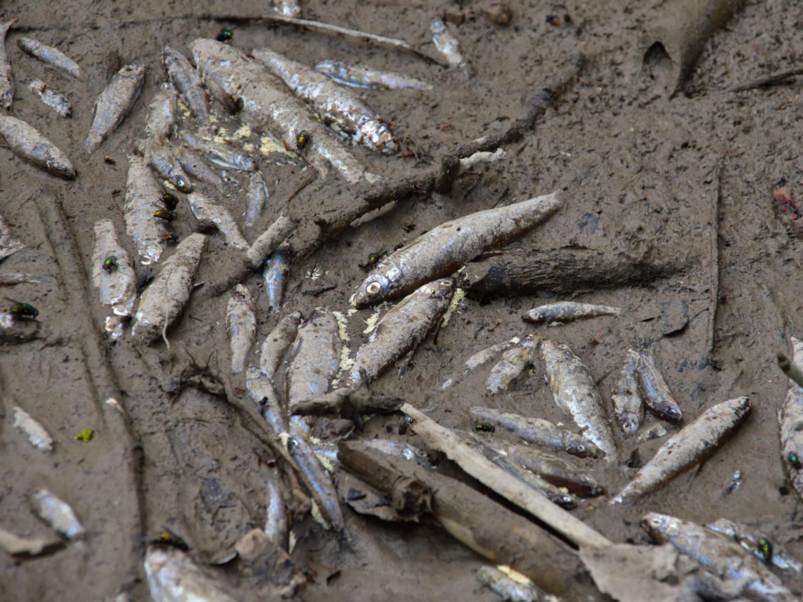 Peixos morts al riu Foix   ACN