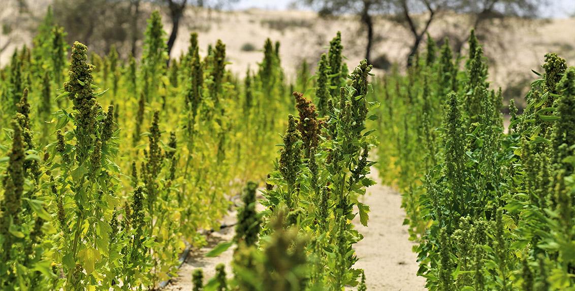 Cultiu de quinoa a Dubai | ICBA