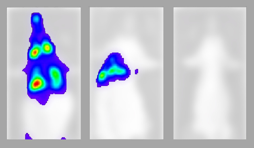 La progressió de la Covid-19 en tres ratolins diferents   University of Yale