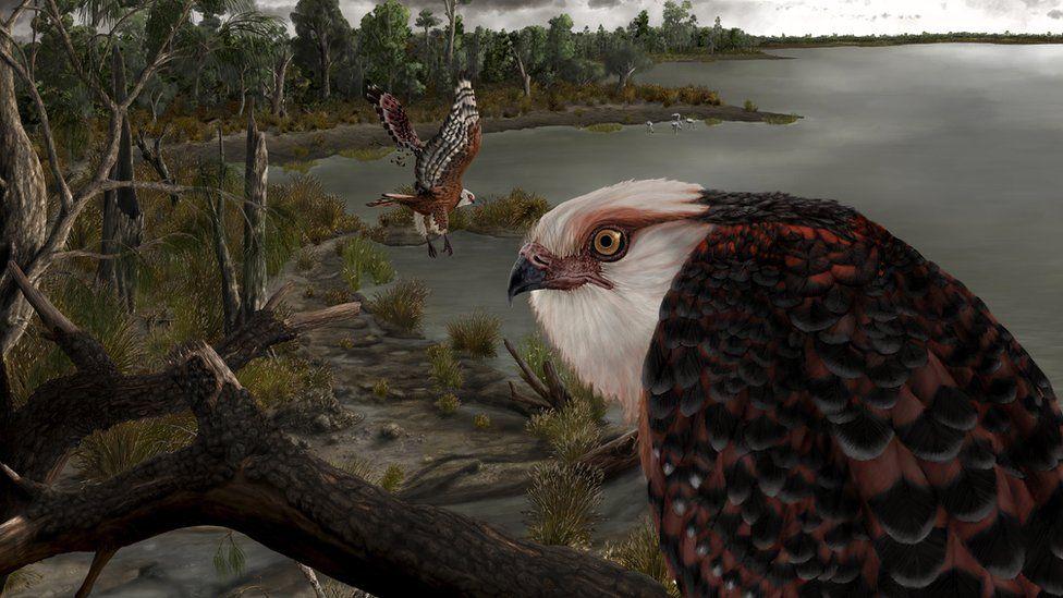 Representació artística de l'àguila descoberta a Austràlia   Universitat Flinders