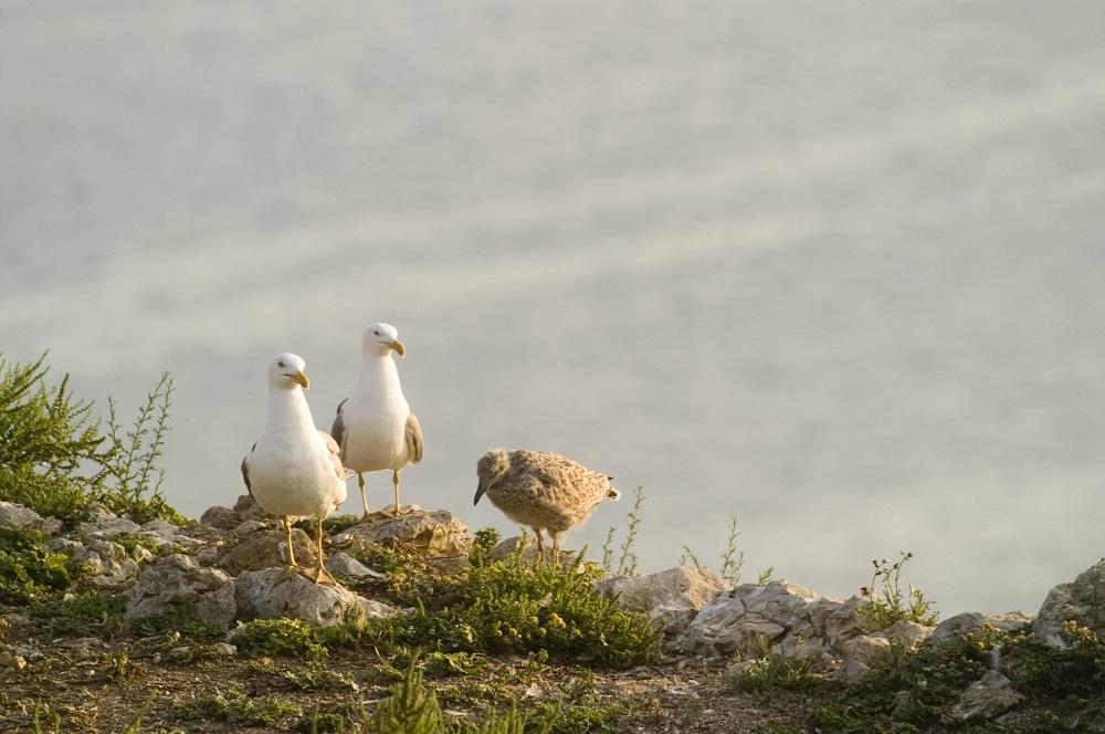 Gavians a les illes Medes | Raül Ramos / UB -URBio